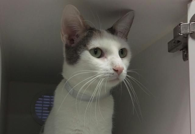 """RORO - A1059644 - - Manhattan  **TO BE DESTROYED 12/20/15** BEGINNER-rated RORO was brought into the shelter by someone who noticed she was """"friendly,"""" but who didn't seem to notice that she probably lived somewhere nearby. People are quick to bring cats into the shelter as if that were a good idea, but anyone looking at RORO right now probably knows how far too many of these situations plays out. RORO has caught the shelter cold, and in their usual fashio"""