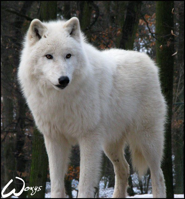 King of arctic wolves by woxys on DeviantArt