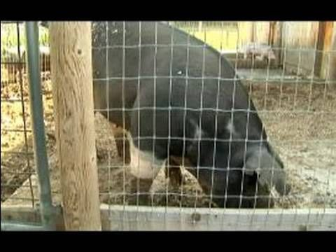 Understanding & Raising Pigs : Pig Digestion