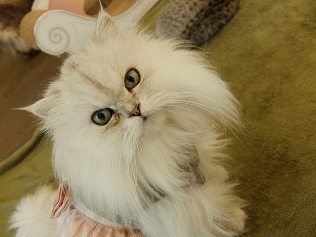 おニューワンピのララァちゃん。 #ねこカフェなる #猫カフェなる #長野県長野市 #猫カフェ #naganojapan #catcafe #nekocafenaru #nekocafe #neko #catscafe #catstagram #cats_of_instagram #catstuff #cat #cats #ねこカフェ #ネコカフェ #ララァ #チンチラシルバー