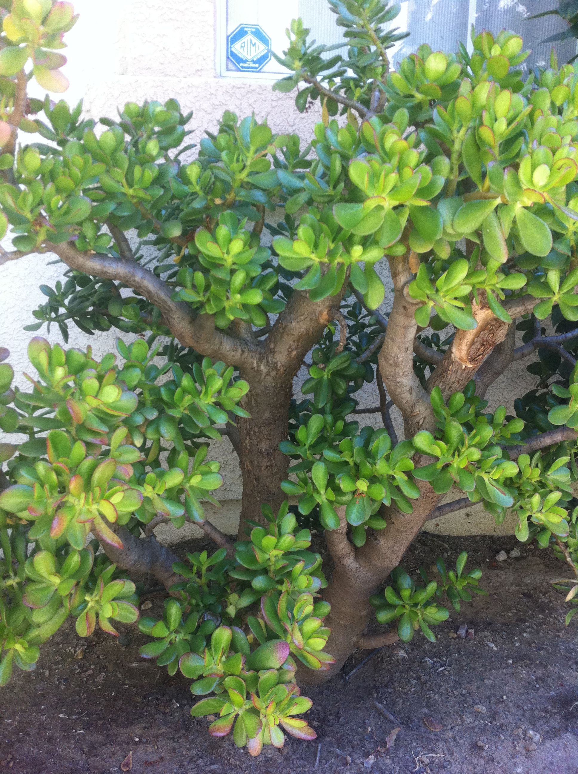 Jade Plant I Planted For 20 Years With Images Jade Plants