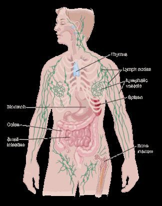 diagram nodes lymphatic system blank eye to fill in color showing the human body location of lymph vessels also shows thymus spleen