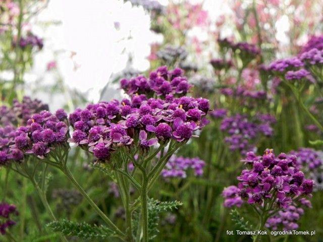 Jesienne Kwiaty W Ogrodzie Co Kwitnie Tuz Przed Zima Plants Achillea Nature