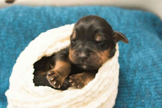Newborn puppies, rottweiler, www.braniganphotography.com ...