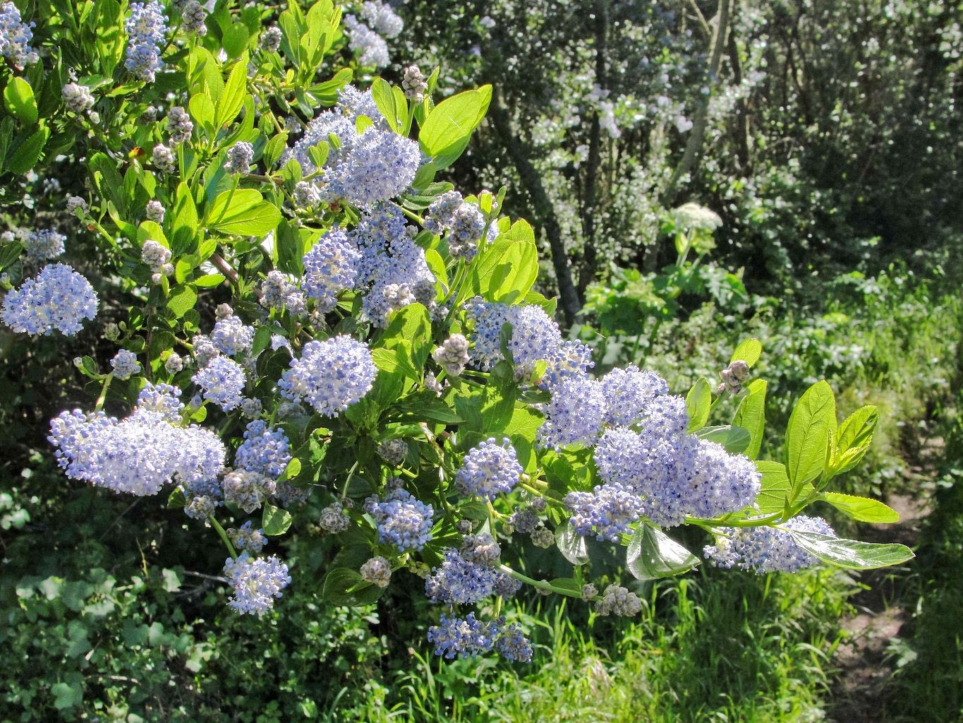 Blue Blossom Pollinator Friendly Plants For The Pacific Northwest Gardening Evergreen Flowering Shrubs Fast Growing Flowers California Lilac