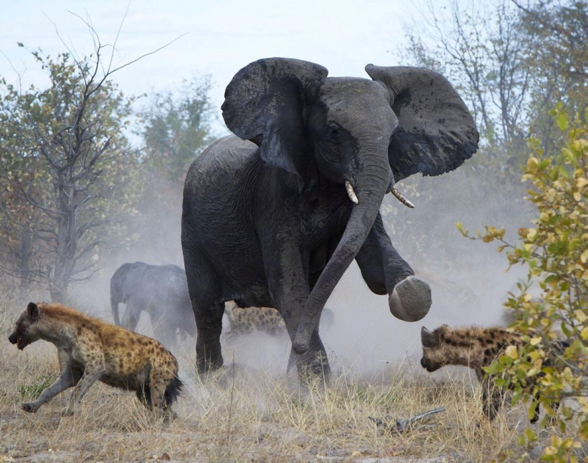 Elephant attacks hyenas Photos Animal fights