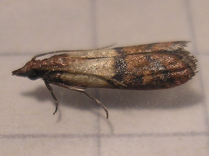 Good Pantry Moths And How To Get Rid Of Them