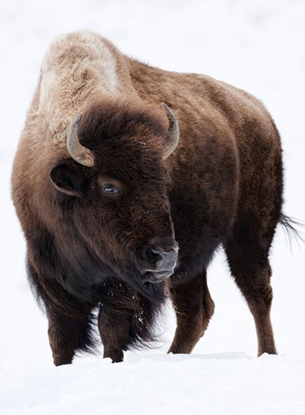 Pin by Beckah Rivera on gifts for him Buffalo animal