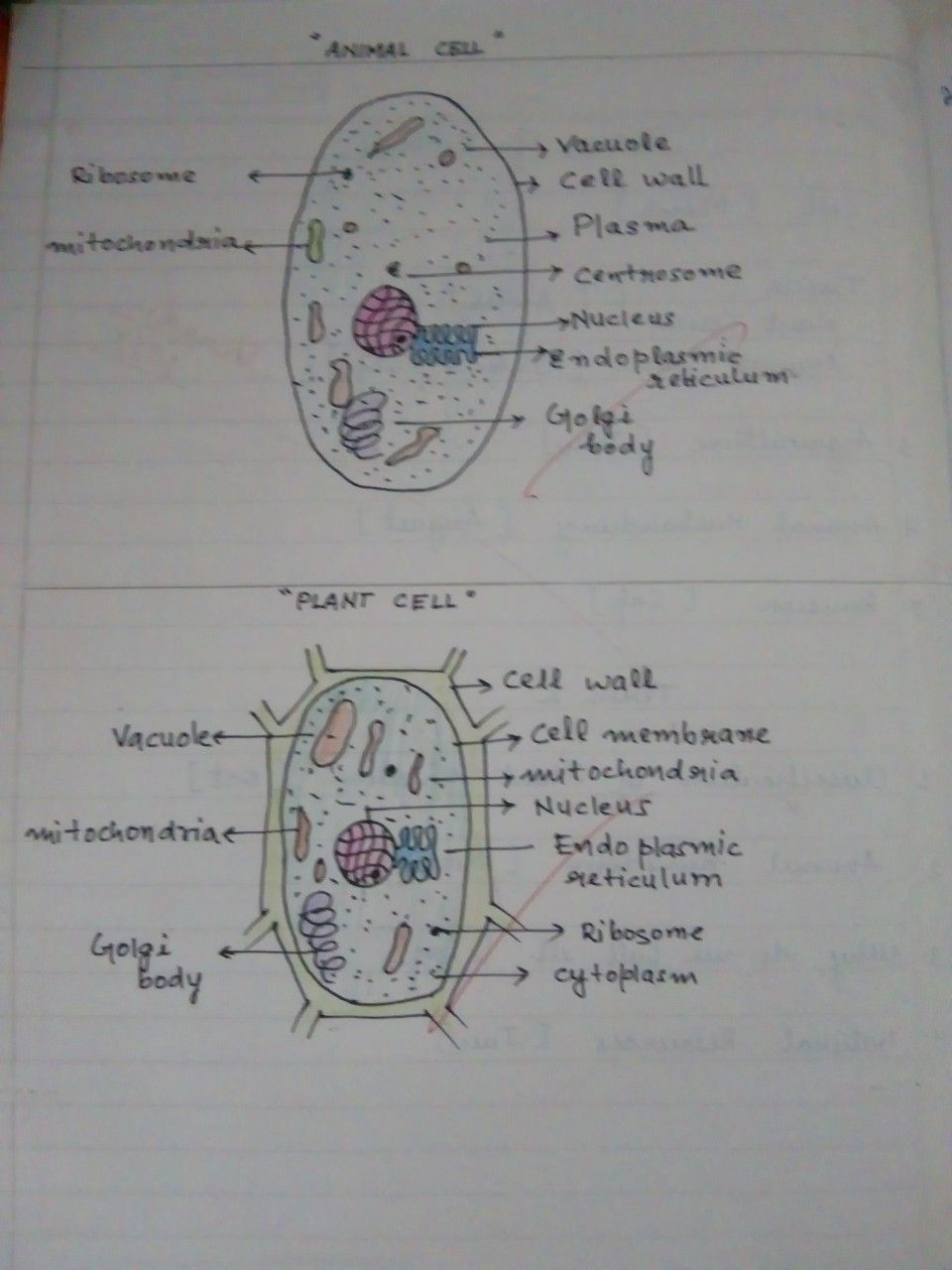Plant Cell And Animal Cell Plant And Animal Cells Plant Cell Plant Cell Drawing