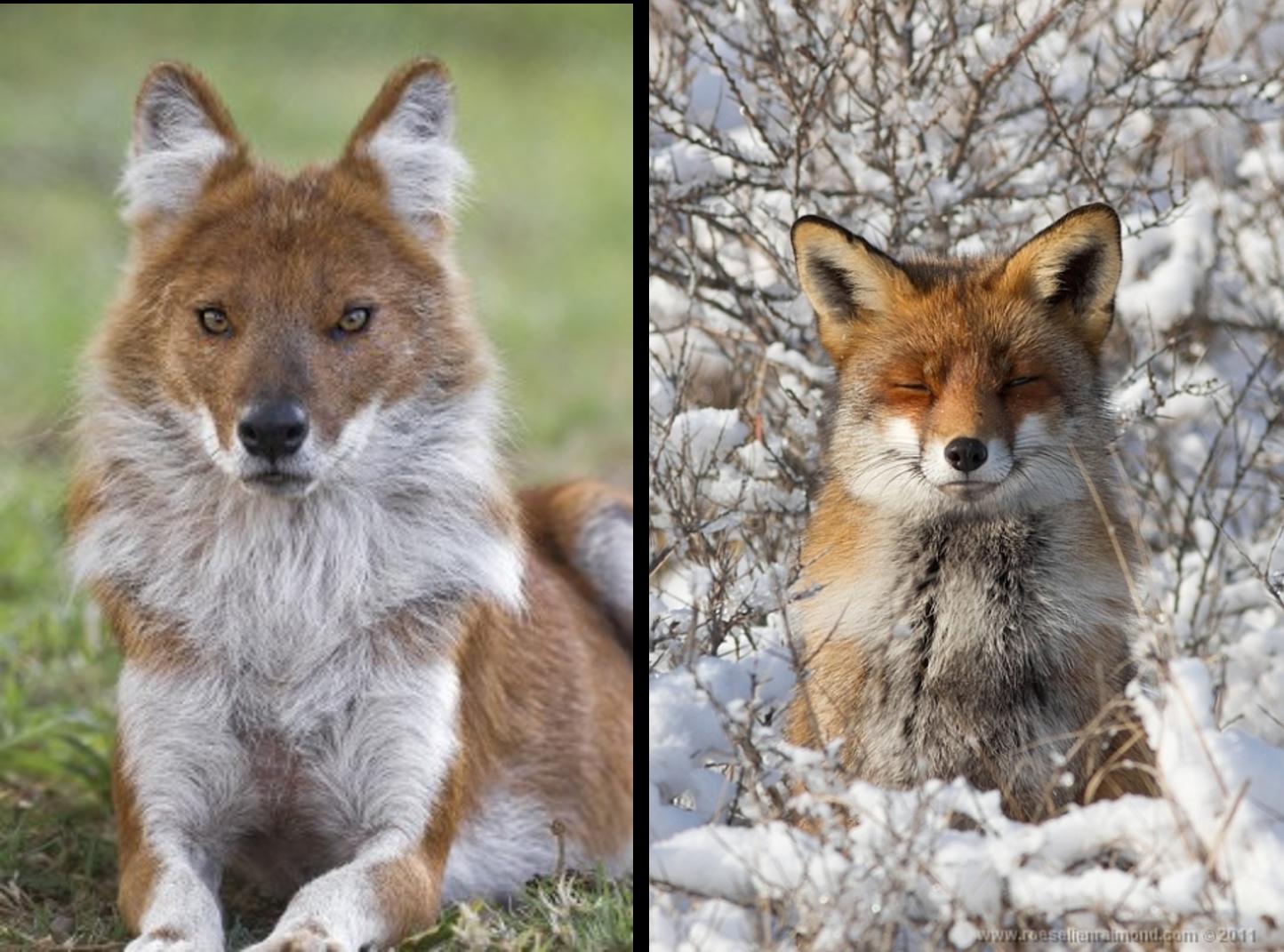 dog that looks like a fox - HD1444×1071