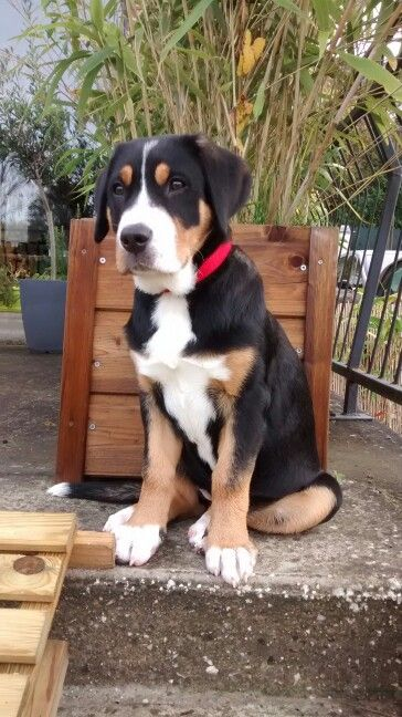 Grand Bouvier Suisse 3 Mois Jadore Des Joyeuses Gambades Entlebucher Mountain Dog Beautiful Dogs Cute Little Animals