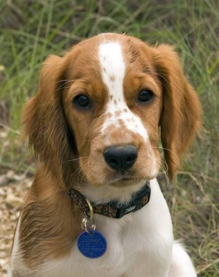 Welsh Springer Spaniel Soooooooooo Cute Welsh Springer Spaniel Welsh Springer Spaniel Puppies Spaniel Breeds