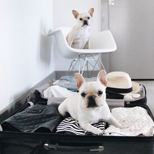 """""""So you think your leaving' do you,...Not without US!"""", French Bulldogs, via themissminimess"""