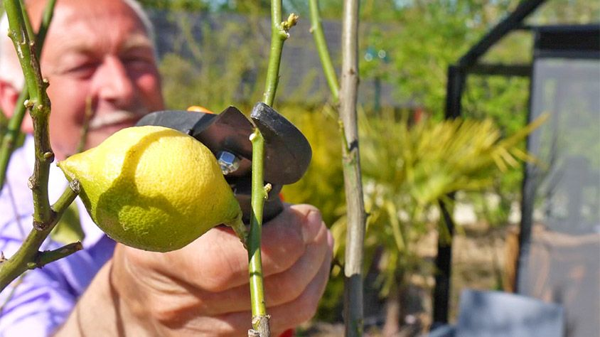 comment bien tailler un citronnier en pot jardinage. Black Bedroom Furniture Sets. Home Design Ideas