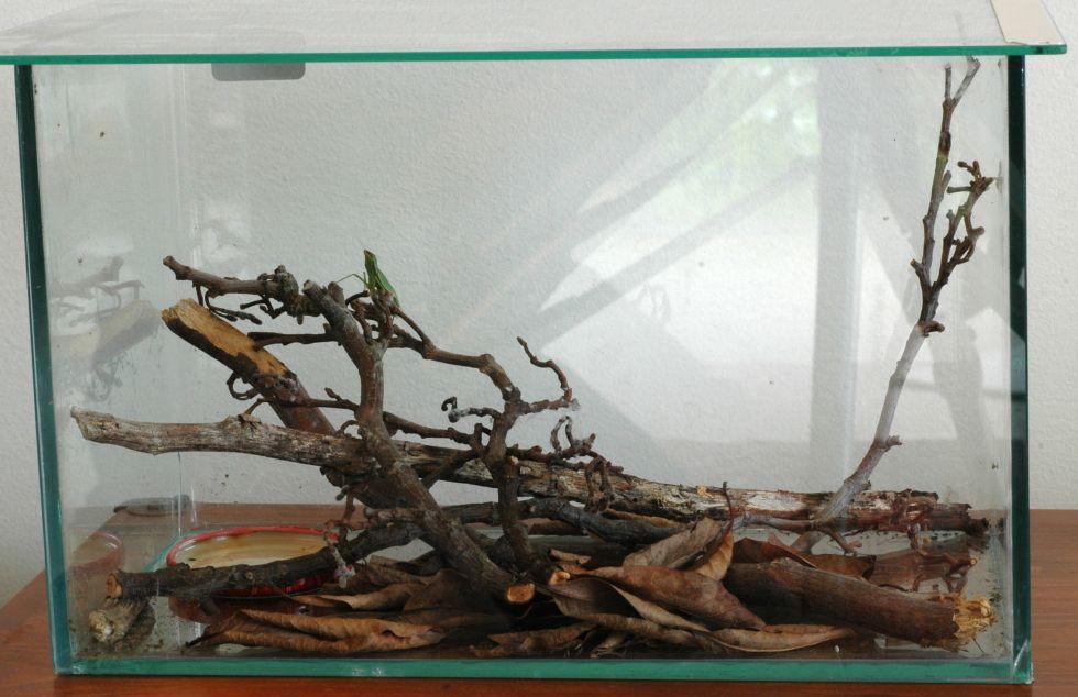 Praying Mantis Terrarium Orchideen