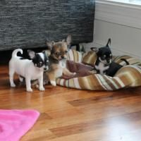 Adorable Chihua Hua Puppies For Adoption Offer Atlanta Baby