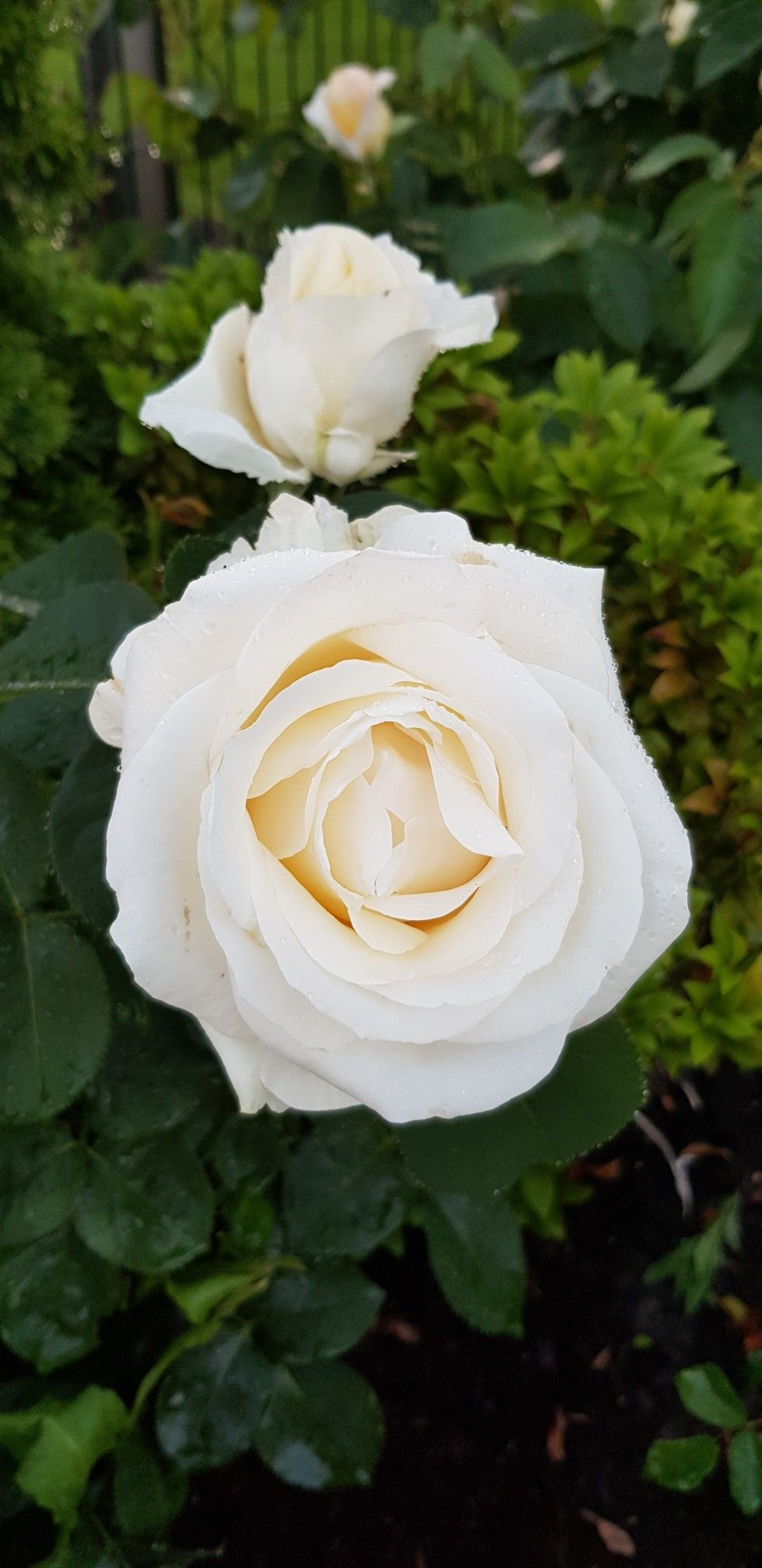 Pin By Ewa Wieckowska On Roza Polska Fryderyk Chopin Rose Plants Flowers