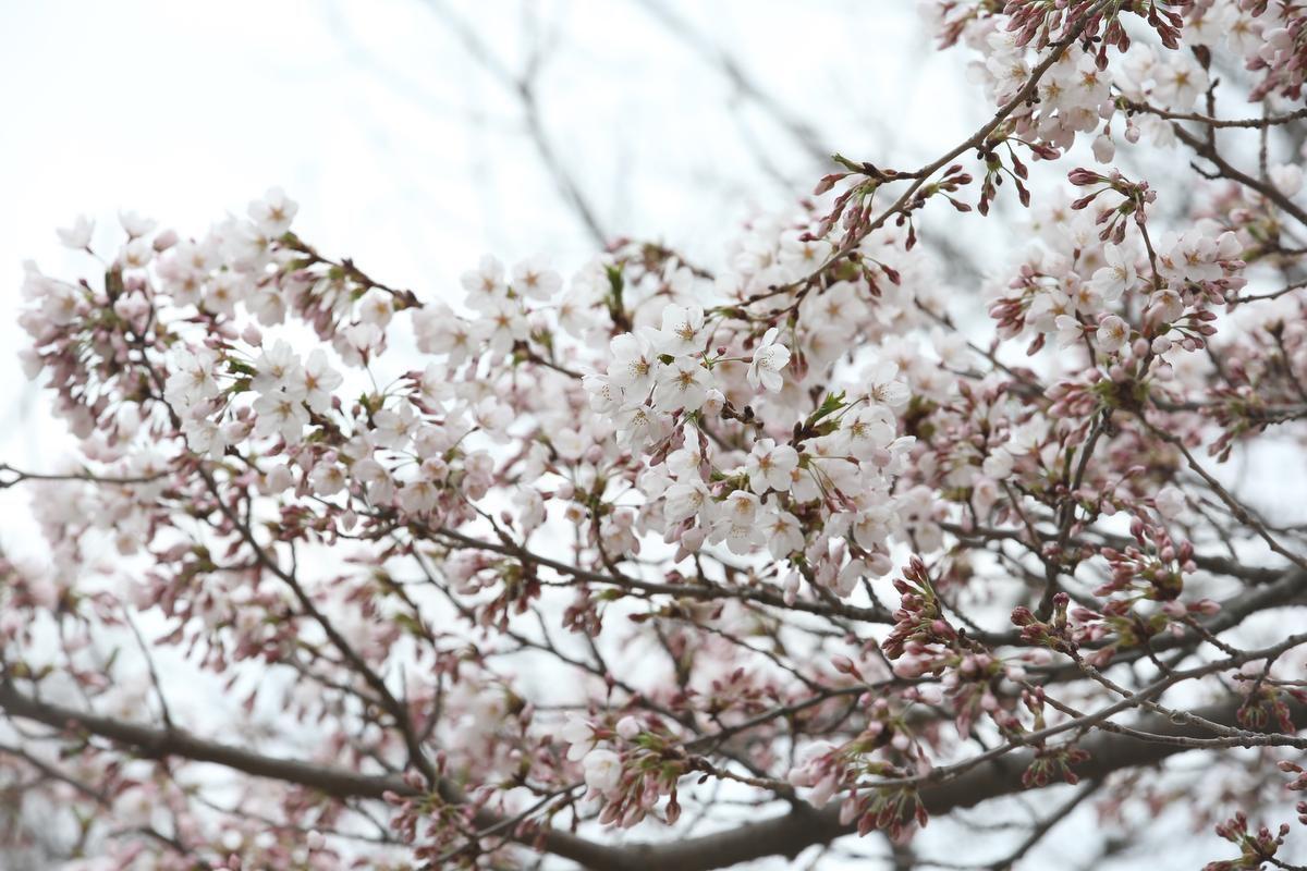 City Releases Cherry Blossom Map To Show There S Trees Beyond High Park Blossom Trees Cherry Blossom Cherry Blossom Tree
