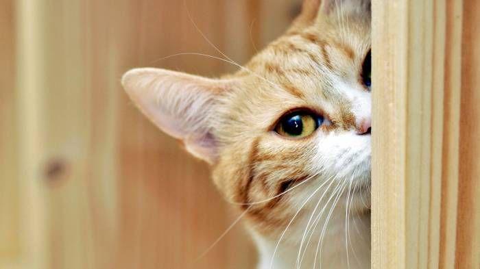 Широкоформатные обои Любопытный кот