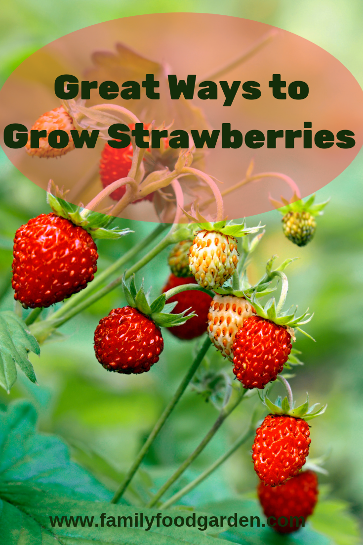 Best Way To Grow Strawberries In Containers 2020 Family Food Garden Growing Strawberries Strawberries In Containers Food Garden