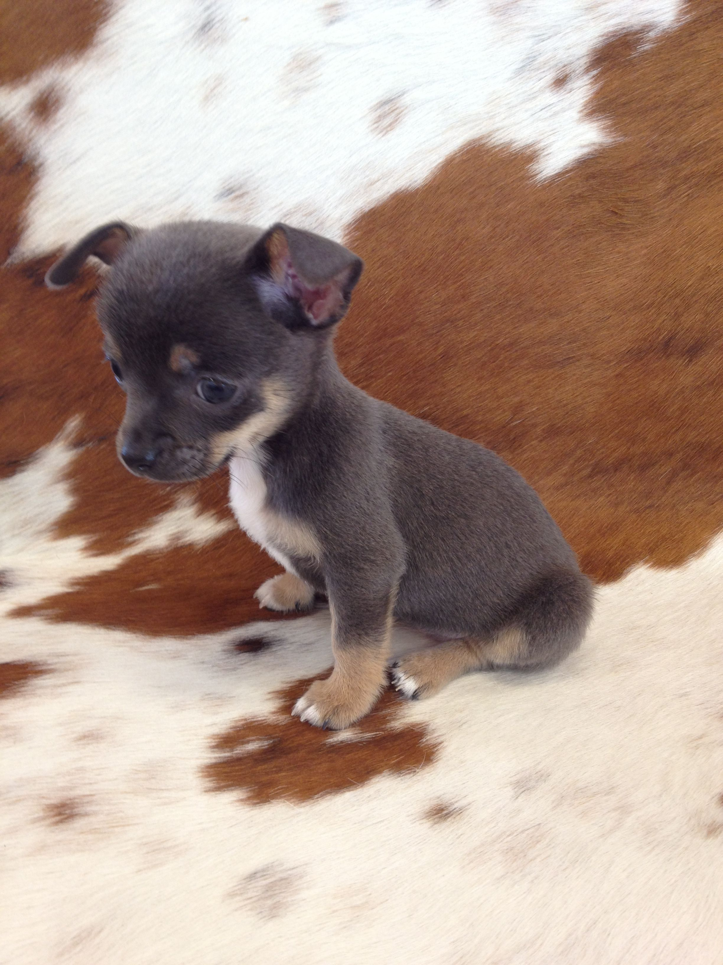 My blue chihuahua Chihuahua puppies, Baby animals funny