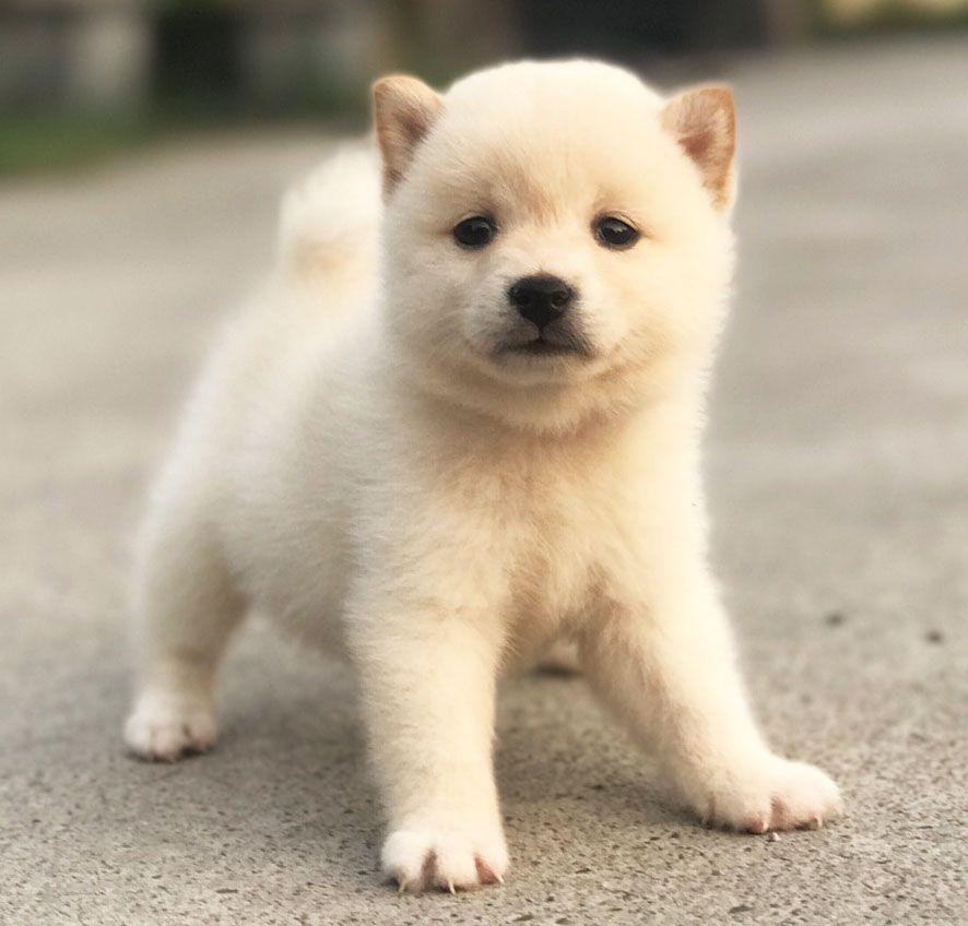 Yorkie Puppies For Sale San Jose Ca 2021