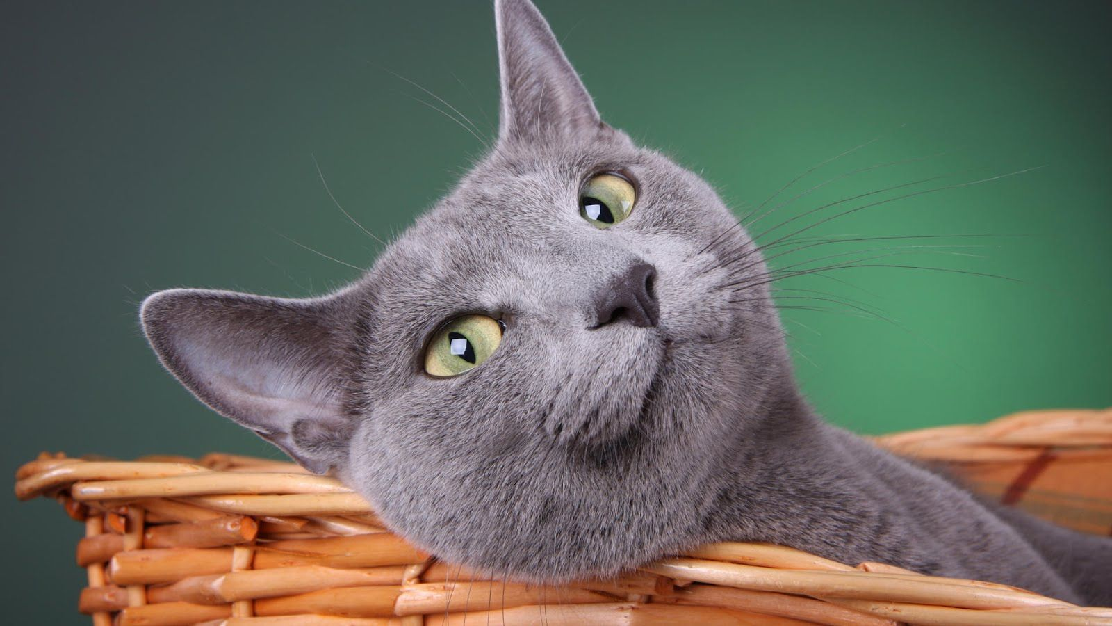 Desktop Pictures of Russian Blue Cats
