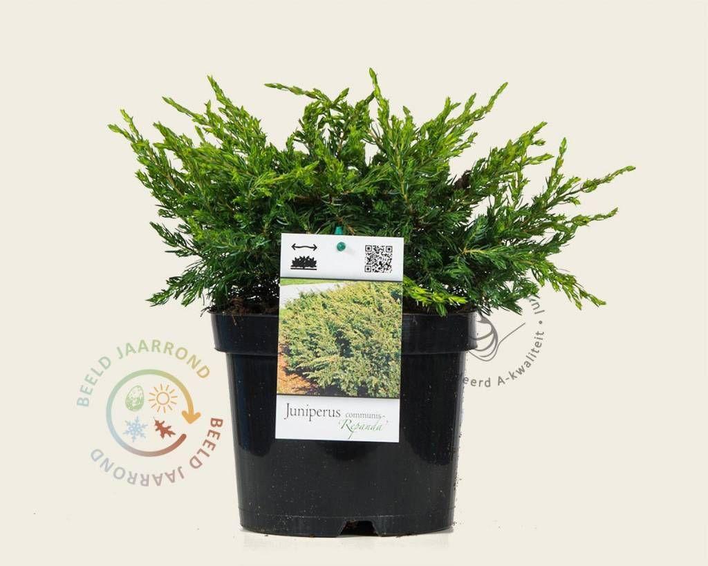 Koop online bij onze tuinplanten webshop de Juniperus communis 'Repanda' | Jeneverbes | Gratis verzending! | Binnen 2-4 werkdagen bezorgd! | Tuinplantenwinkel.nl