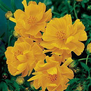 Cosmic Yellow Cosmos Flower Seeds Flower Seeds Types Of Flowers Cosmos Flowers