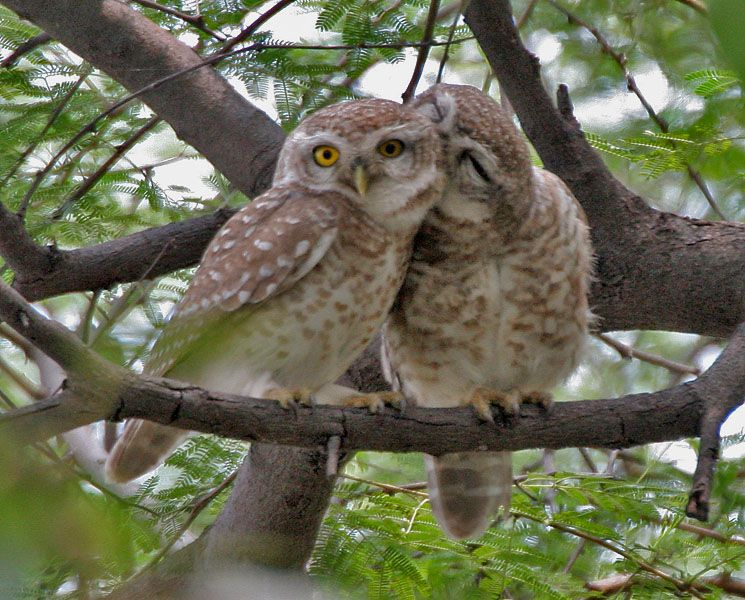 Indian owls threatened by superstition Owl, Cute owl