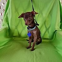 Chihuahua Patchi Victory Acres Jasper Mo 950 Chihuahua Love Cute Animals Puppies