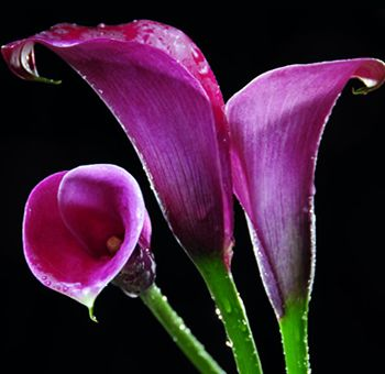 Buy Purple Mini Calla Lilies Wholesale Purple Mini Calla Lily Flowers For Weddings And Events Calla Lily Flowers Purple Calla Lilies Calla Lily