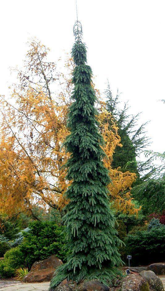 Picea Glauca Pendula Weeping White Spruce Ogrody Ogrod Drzewa