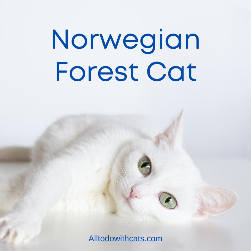 Norwegian Forest Cat in 2020 Senior cat care, Cat skin