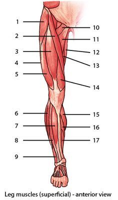 muscular system : muscles of the lower limb, quiz 1 : level 1, Muscles