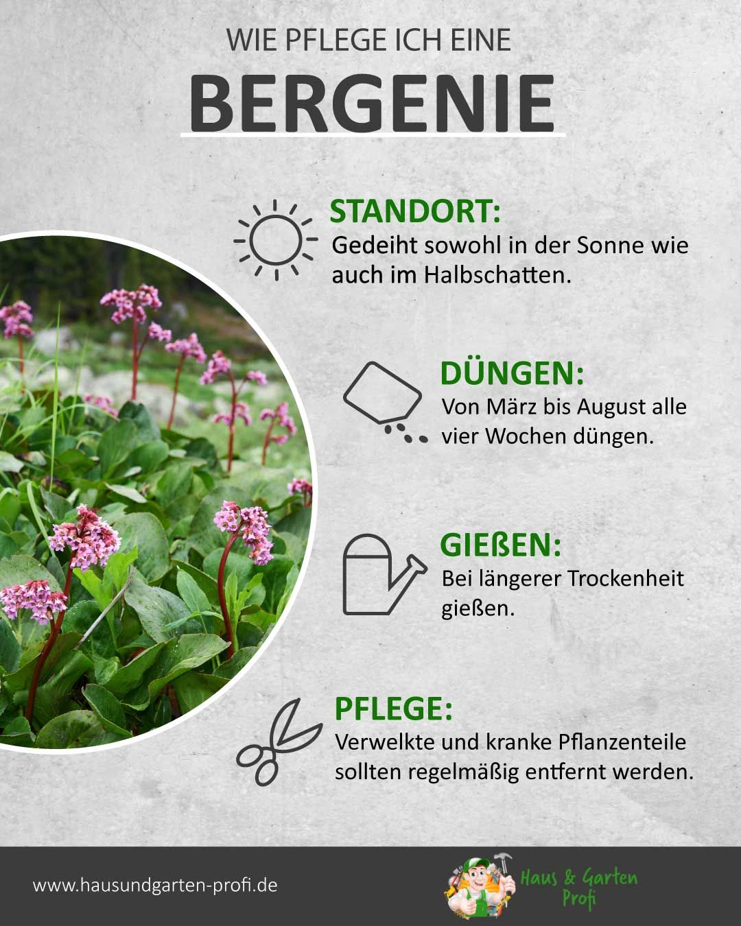 Bergenie: So einfach kann es gehen (Standort, Düngen, Gießen, Pflege)