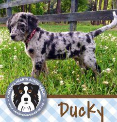 Adopt Ducky On Louisiana Catahoula Leopard Dog Catahoula