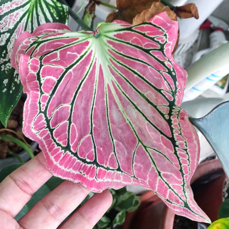 Caladium 'Thai Beauty', Caladium 'Thai Beauty' - u