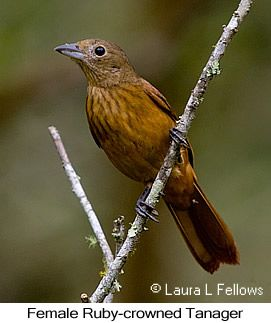 Ruby-crowned Tanager - © Laura L Fellows and Exotic Birding Tours
