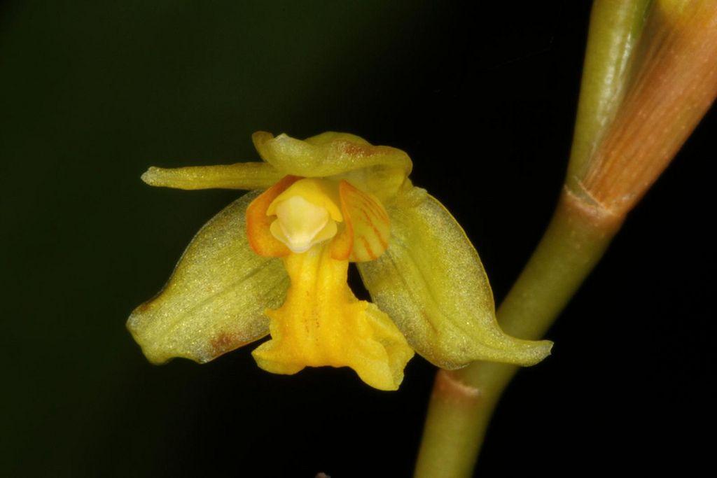 Coelogyne prolifera (flavida)