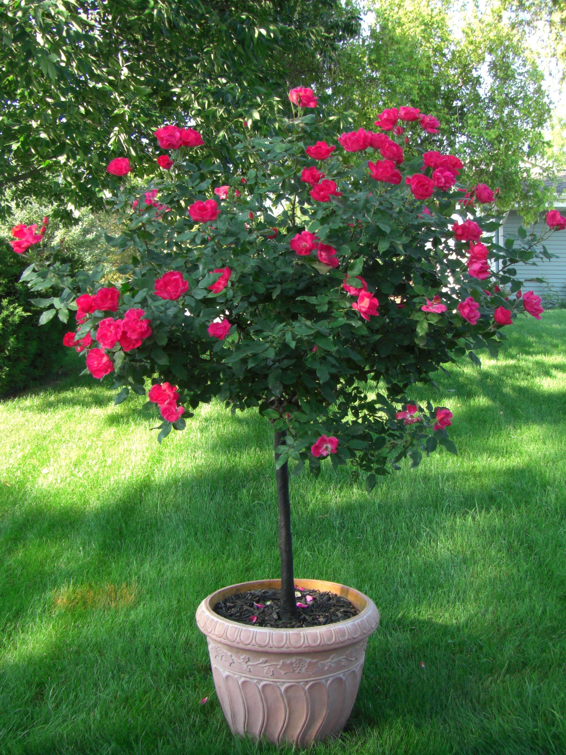 Captivating Five Patio Trees That Are A Must For Every Gardener! #PatioPlants #Roses #