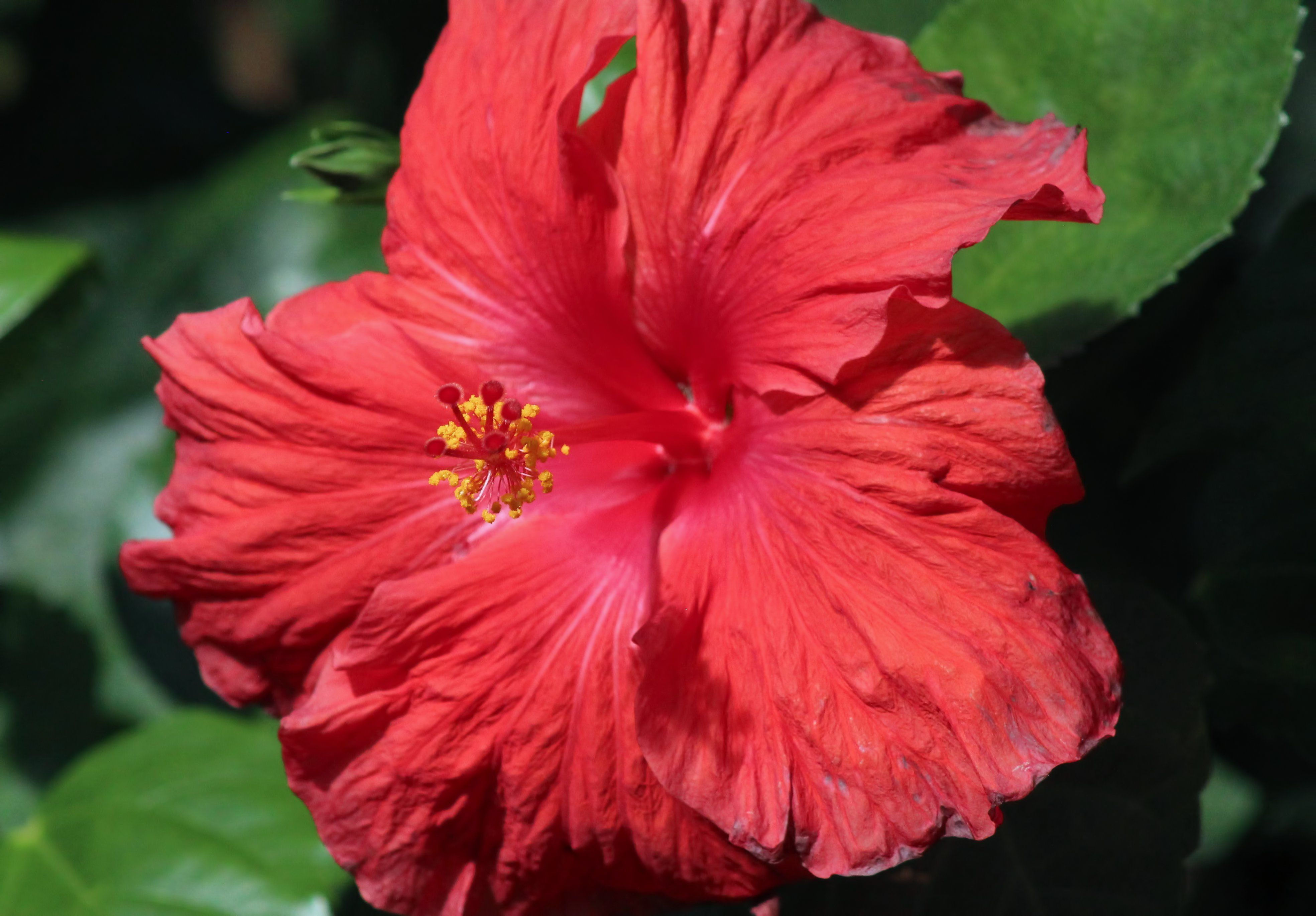 Beautiful Hibiscus Flower Graphic By Jlbimages