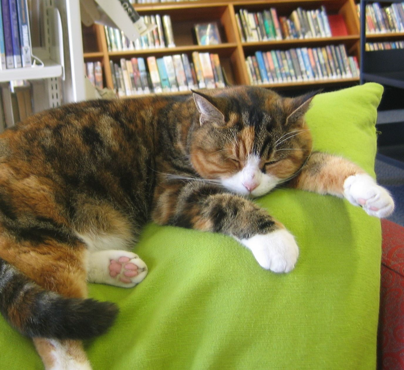 """This is Xena, the library cat. """"You can usually find me lounging around in the Large Print area of St Heliers Library in Auckland [New Zealand]. My interests are eating, sleeping and extreme road crossing."""" Click through for Xena's Twitter feed and a link to her Facebook page!"""