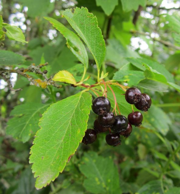 How To Use Hawthorn Berries Leaves And Flowers Is Black