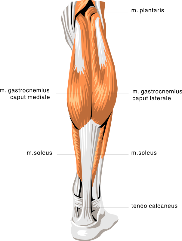muscle anatomy - Google Search | Figures | Pinterest
