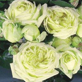 rosier grimpant 39 l alcazar 39 tanefle 150 200 cm couleur ivoire acidul de vert floraison juin. Black Bedroom Furniture Sets. Home Design Ideas