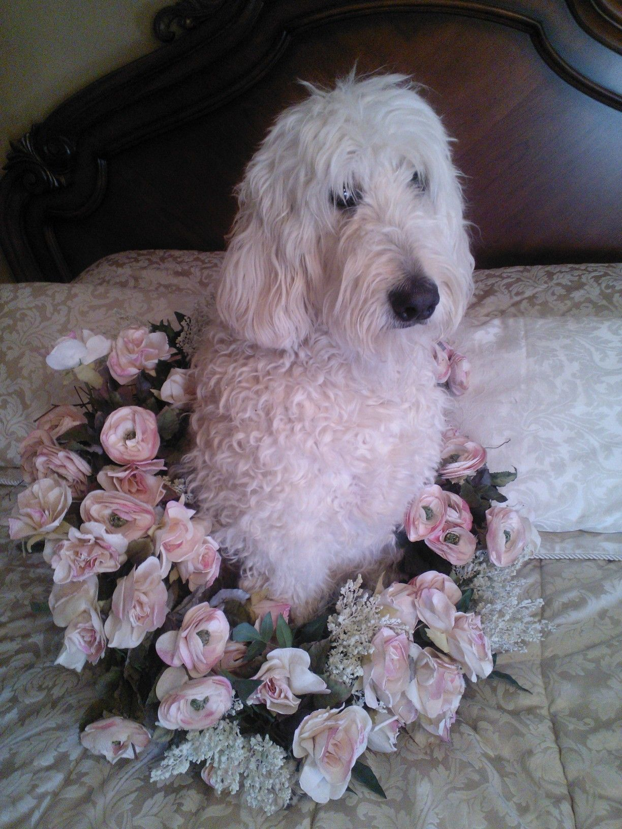 Bentley is now 8 1/2 yrs old and the last time he was in the center of this wreath was when I took a photo of him at 9 wks old. How he has grown! He is a Standard F1, 85 lb. Goldendoodle. 2-15-15