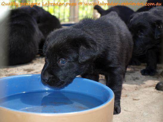 Black Labrador Puppies For Sale Labrador Puppy Labrador Puppy
