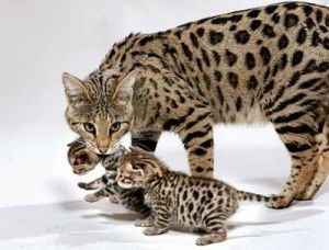 Beautiful Savannah cat and her babies.