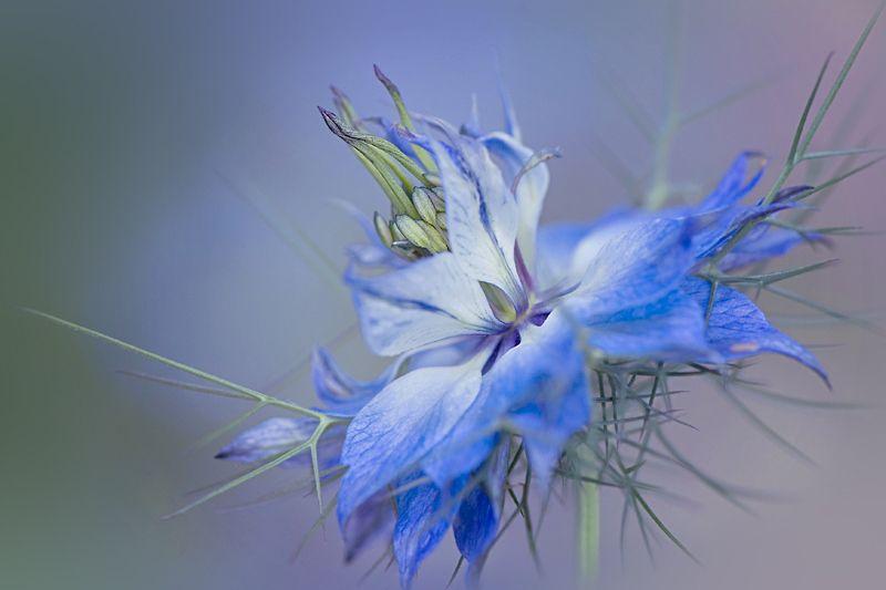 Love-in-a-mist by Jacky Parker, via 500px